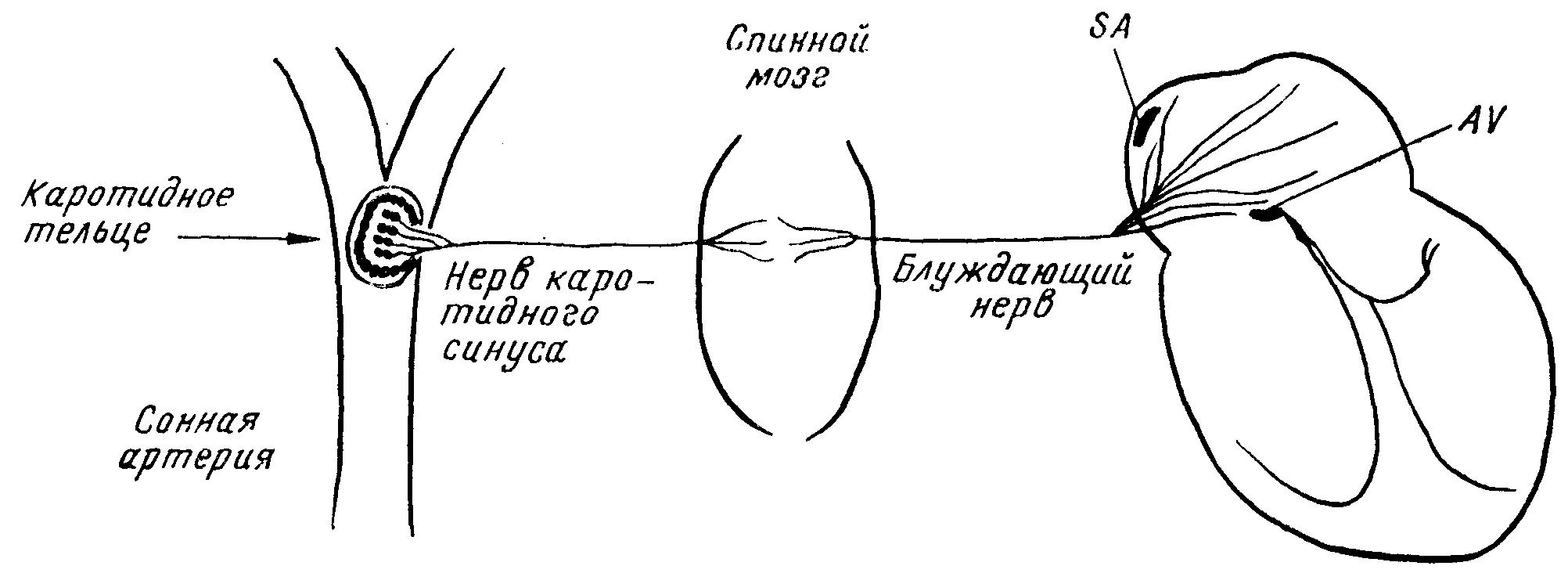 Механизм вагусной пробы у человека