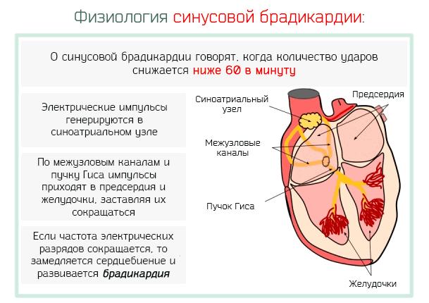 физиология брадикардии